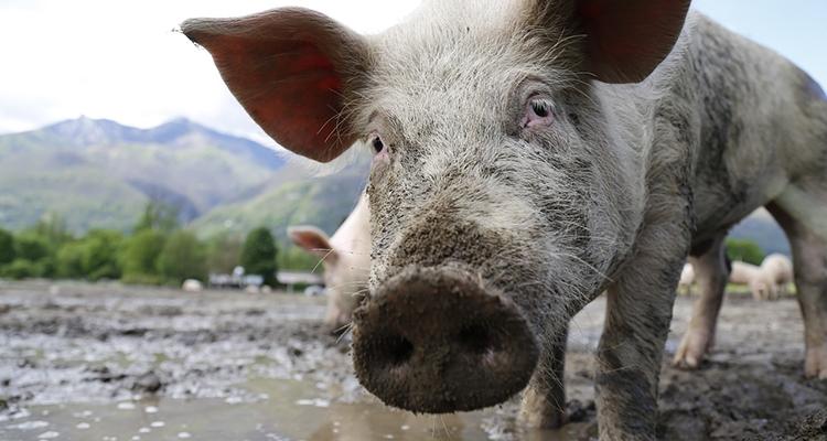 varkens-geven-inzicht