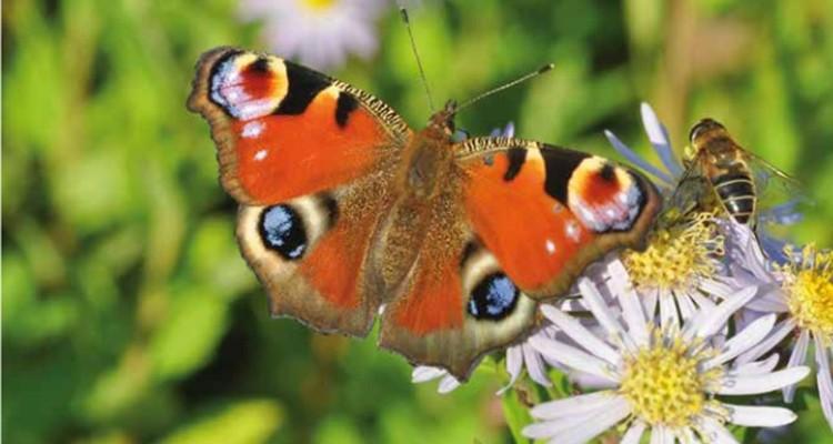 vlinders-dagpauwoog