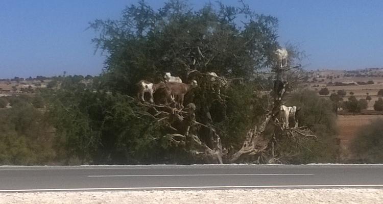 geiten-in-boom-biologische-arganollie