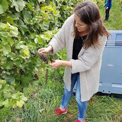 Extreem klimaat zorgt in Europa voor grillige biologische wijnoogst 2016