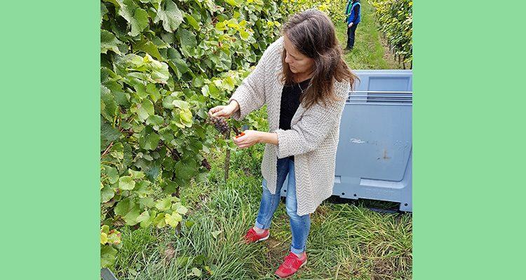 biologische wijnoogst