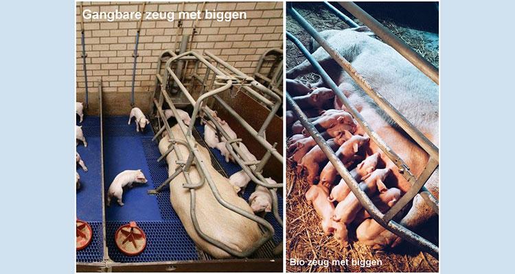 vlees-varkens-discussie