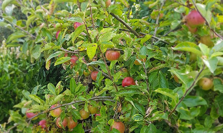 live green appels