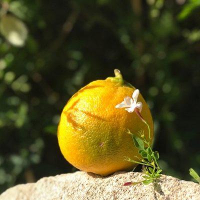 Bergamot: de zon in een Italiaanse vrucht