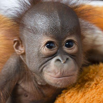 Docu Red de orang-oetan: kies duurzame palmolie