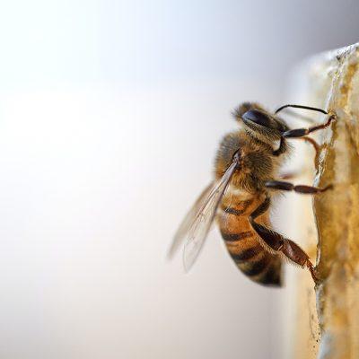 Blog Jaap: bijen en hommels in de winter