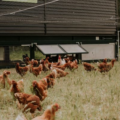 Deze hanen zijn geluksvogels én de opmars naar een andere landbouw!