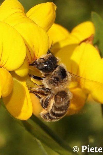 Blogger Jaap: help de driedoornige metselbij te beschermen